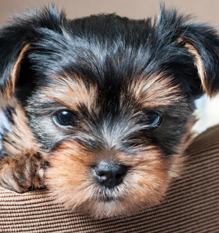 are-yorkies-hypoallergenic_canna-pet-1024x680
